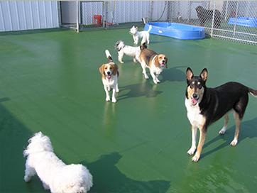 Puppy at boarding kennel - golden retreiver